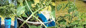 garden0527cherry