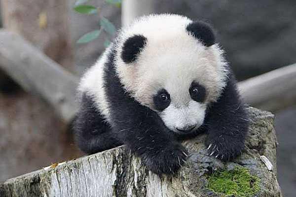 Cute Tiger Cubs Hd Wallpapers Information About Giant Panda Yun Zi Panda News