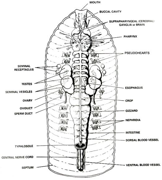 labeled diagram of the inner body