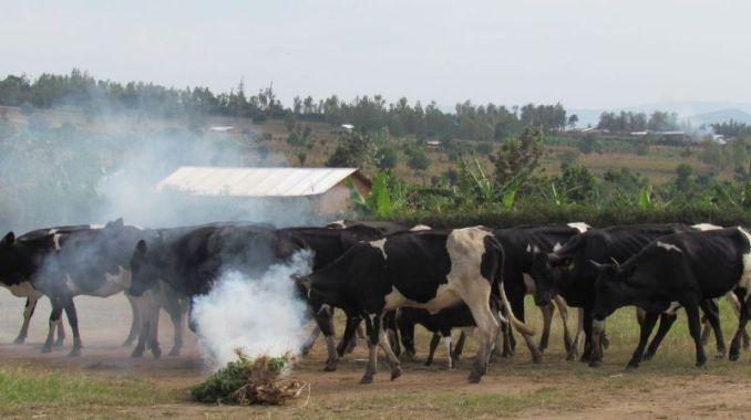 Mu muco wa kinyarwanda inka ziracanirwa (Photo/Courtesy)