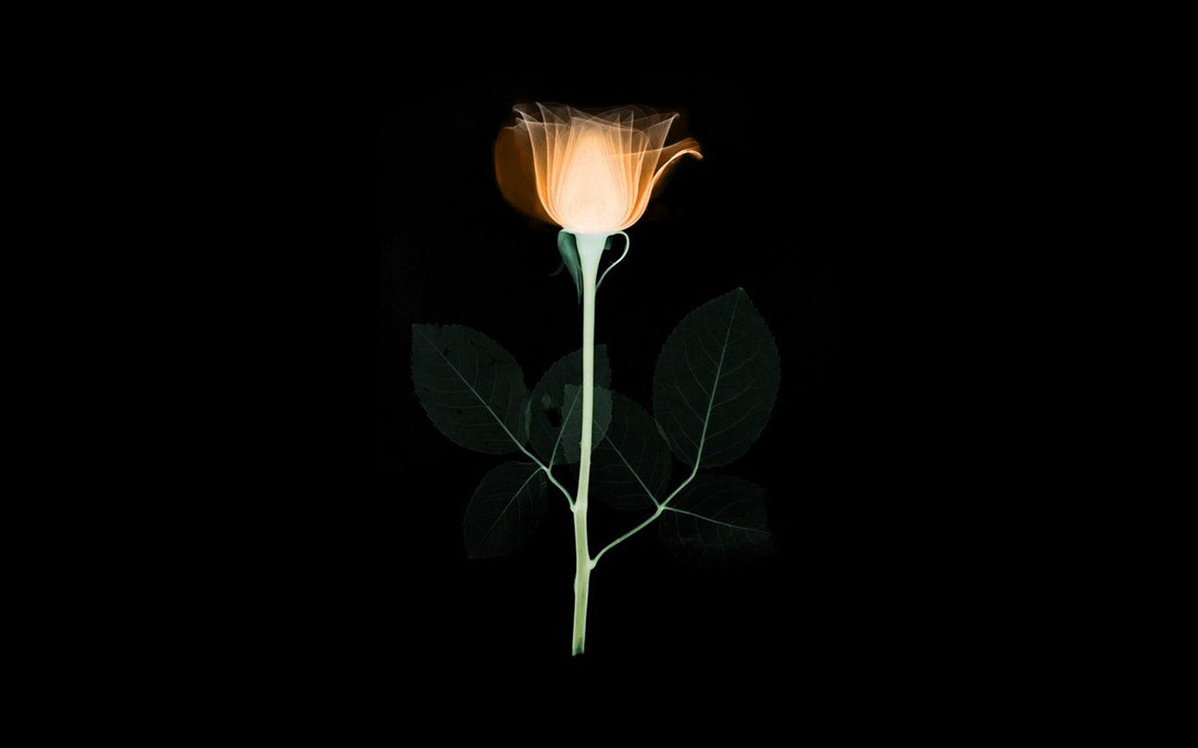 Black Wallpaper For Iphone 7 Wallpaper For Desktop Laptop At75 Flower Xray Simple