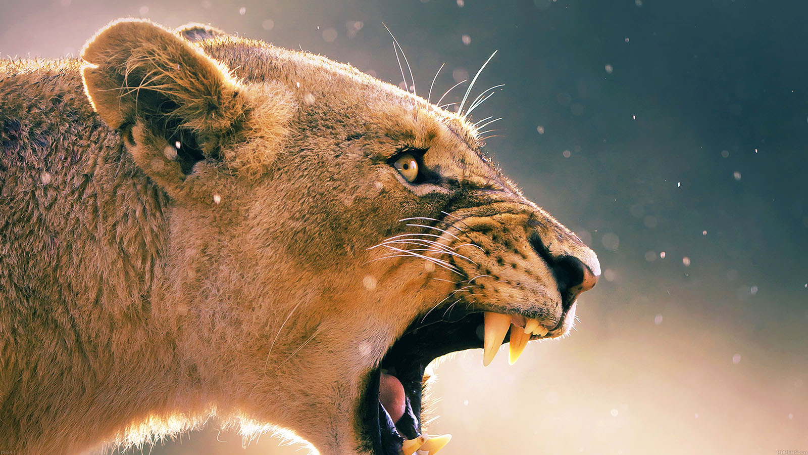 Free Fall Wallpaper For Laptop Ma41 Angry Lion One Animal Nature Papers Co