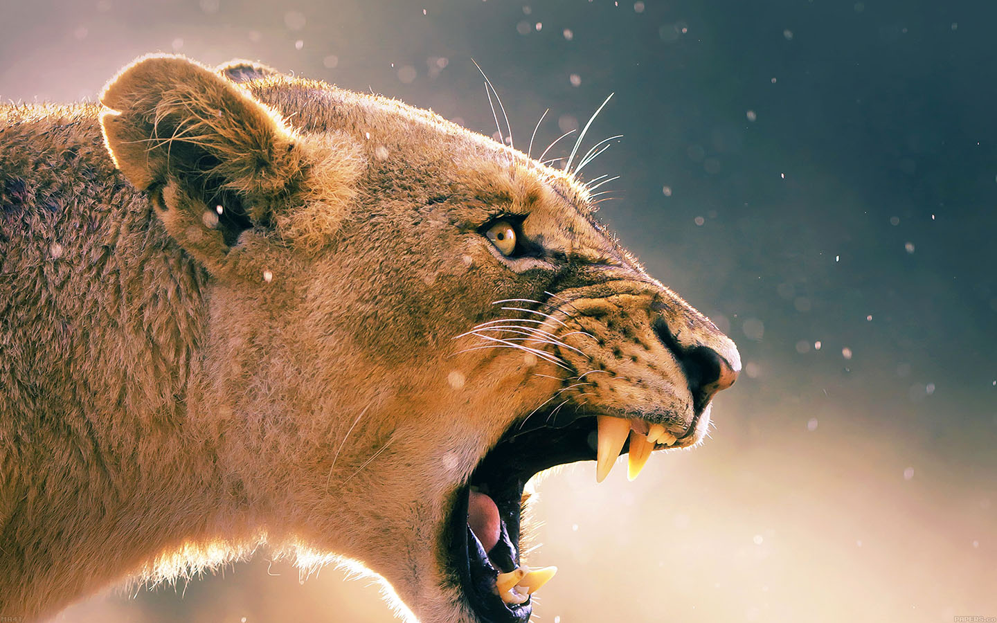 Macbook Pro Retina Car Wallpaper Ma41 Angry Lion One Animal Nature Papers Co