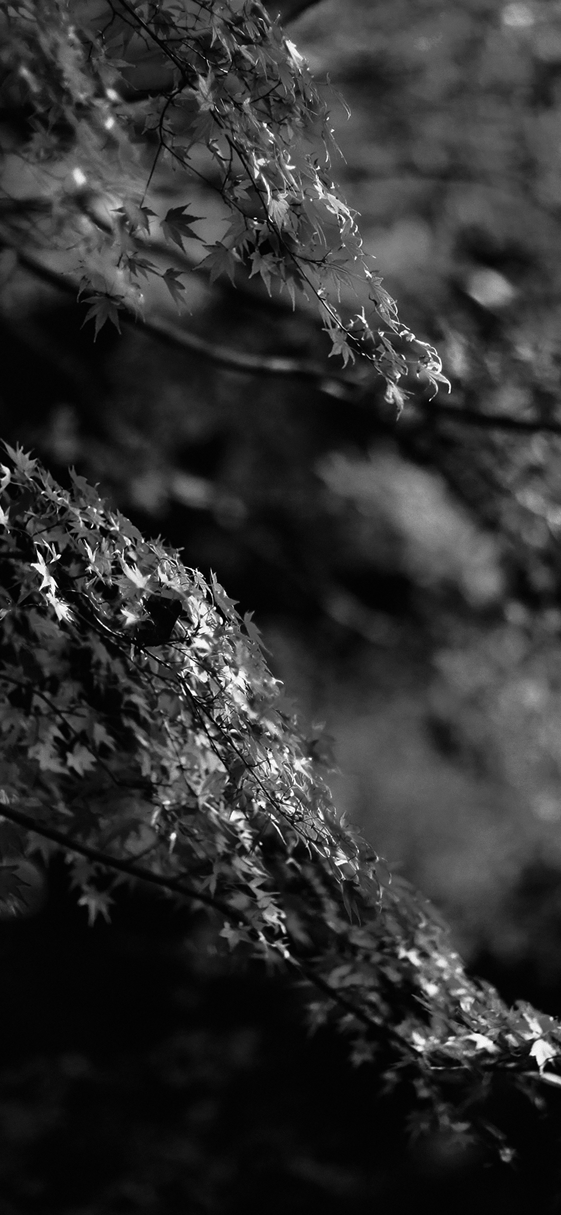 Japanese Wave Wallpaper Hd Mh98 Japanese Maple Tree Fall Nature Black And White Wallpaper