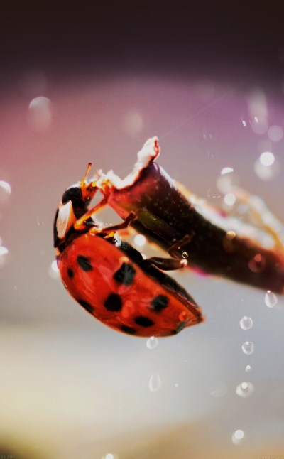 FREEIOS7 | mh99-lady-bug-macro-zoom-animal - parallax HD iPhone iPad wallpaper
