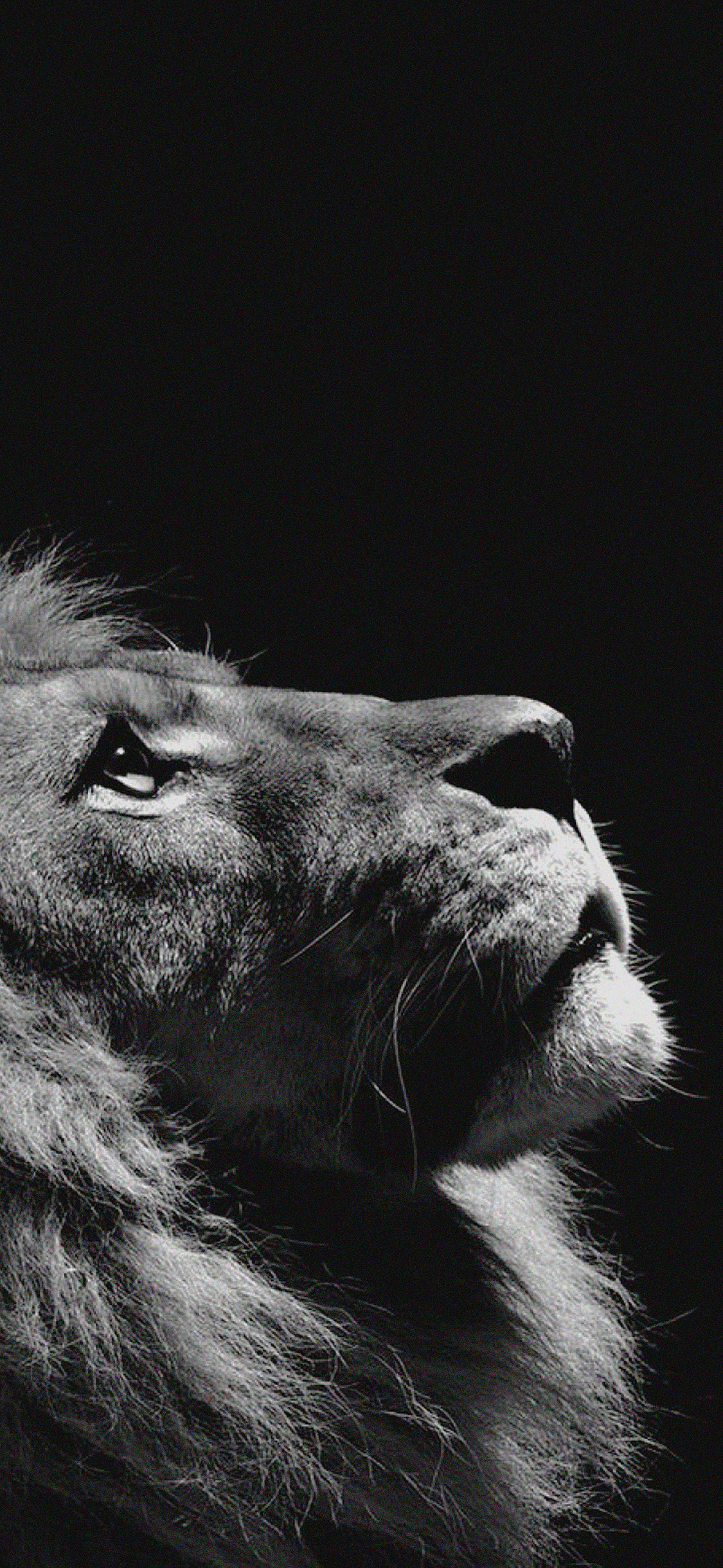 Simple Car Wallpapers Mj50 Lion Looking Sky Animal Nature Dark Photo Papers Co