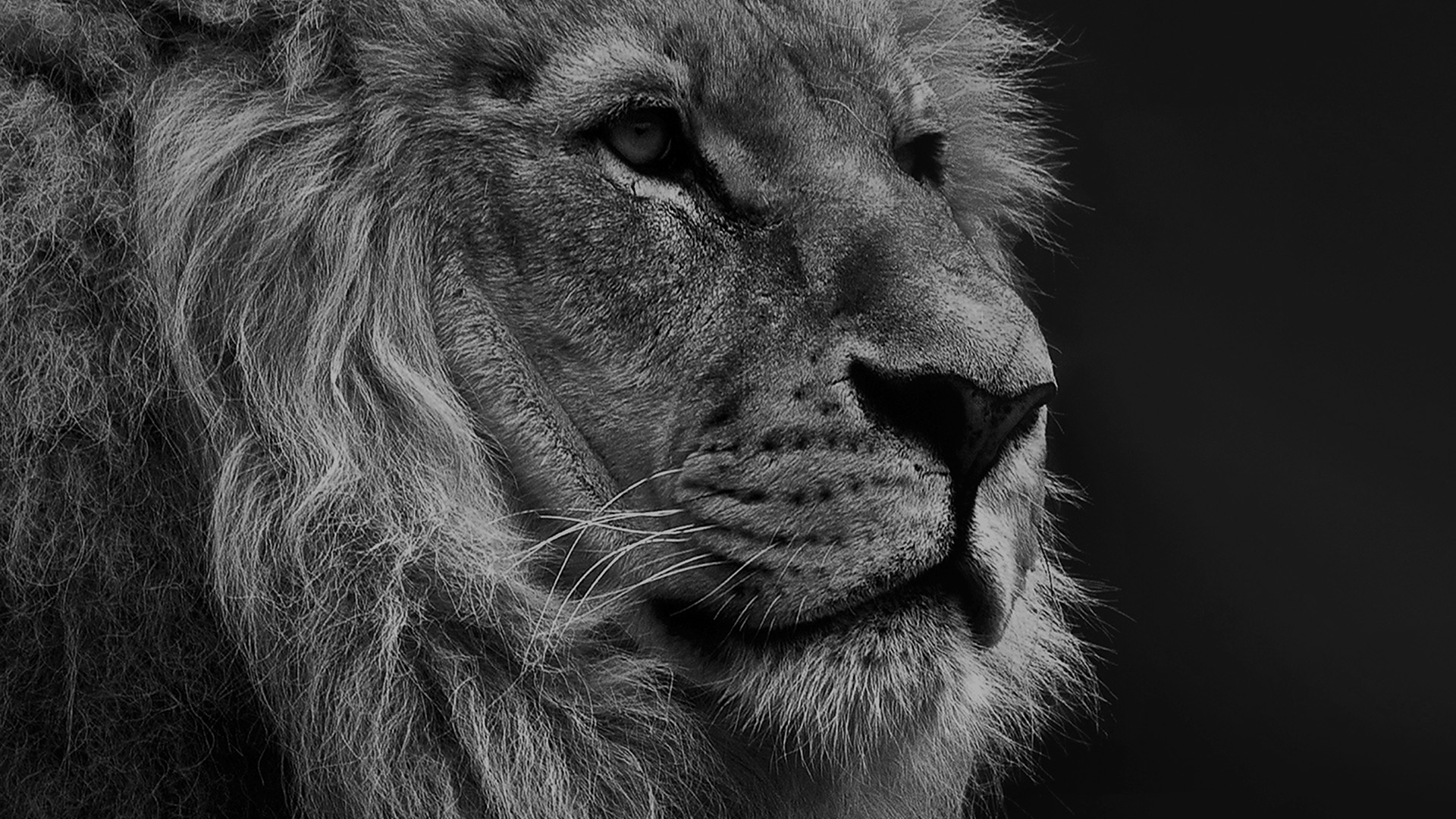 Samsung Car Wallpaper Mu48 National Geographic Nature Animal Lion Dark Bw