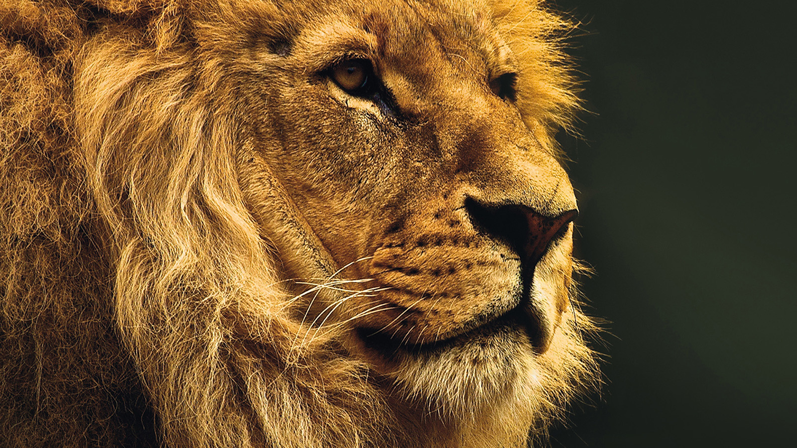 National Geographic Wallpaper Fall Mu49 National Geographic Nature Animal Lion Yellow Wallpaper
