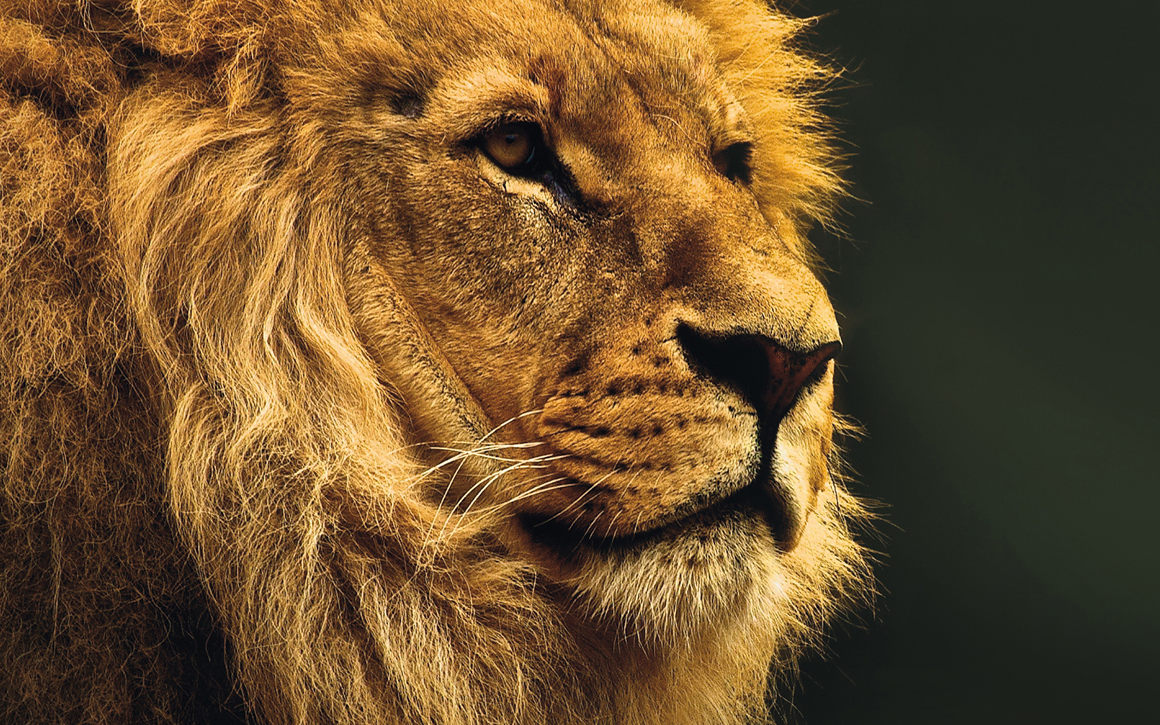 National Geographic Wallpaper Fall Mu49 National Geographic Nature Animal Lion Yellow Wallpaper