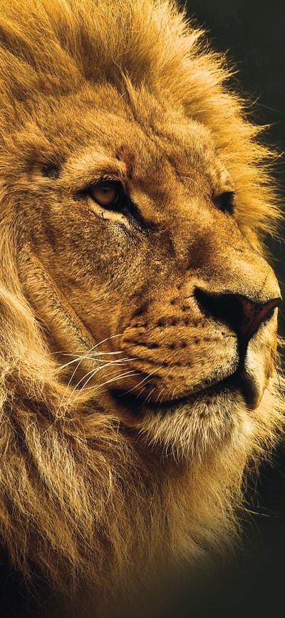 iPhoneXpapers.com-Apple-iPhone-wallpaper-mu49-national-geographic-nature-animal-lion-yellow