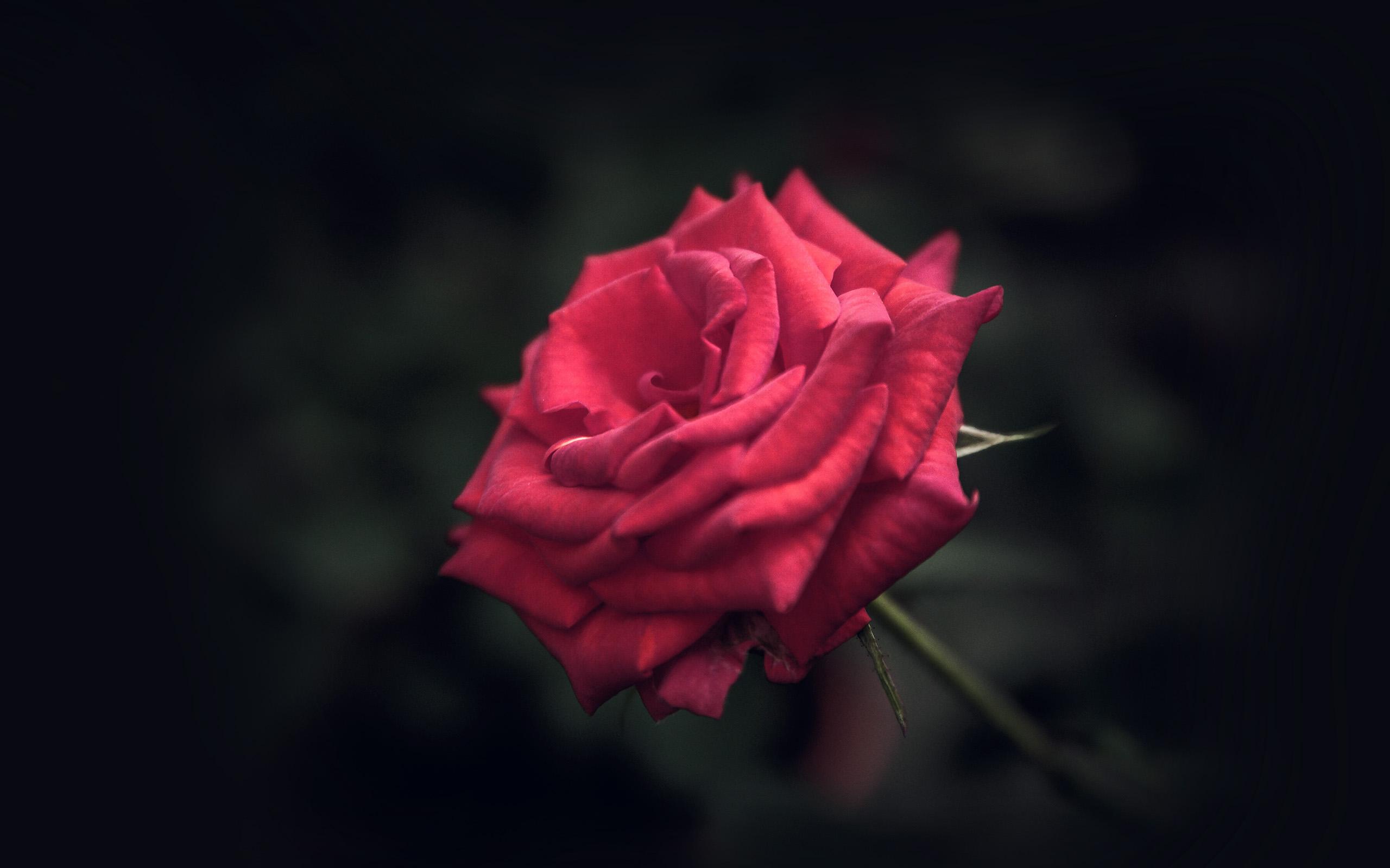 Wallpaper Desktop Girl Falling I Love Papers My31 Rose Flower Red Love Nature Blue