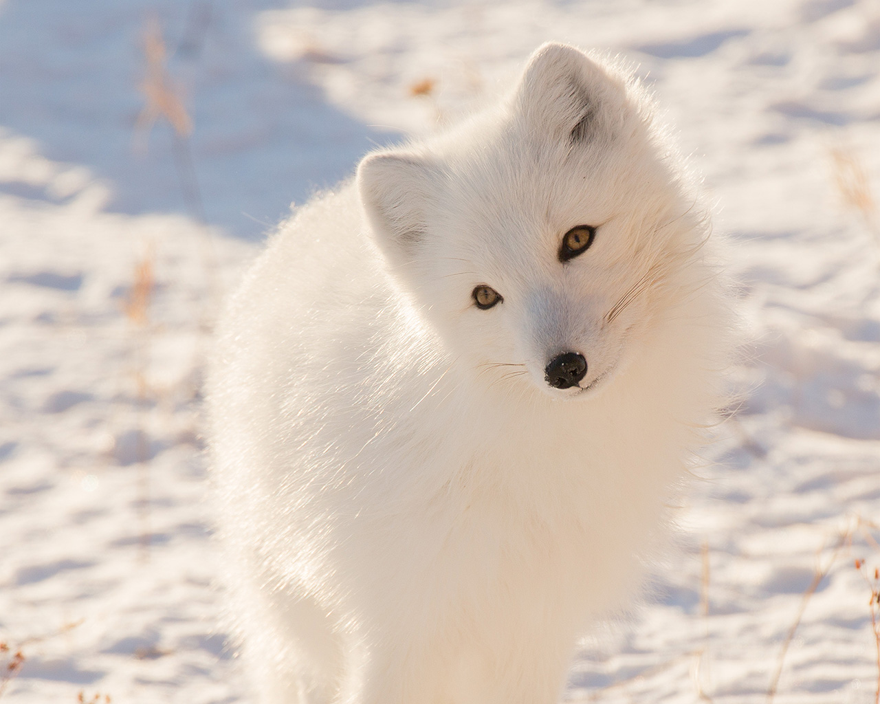 Cute Fall Background Wallpaper Mz77 Winter Animal Fox White Wallpaper