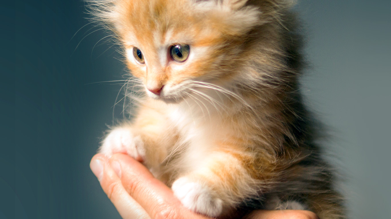 Red White And Blue Car Wallpaper Iphone Wallpaper For Desktop Laptop No47 Animal Cute Kitten