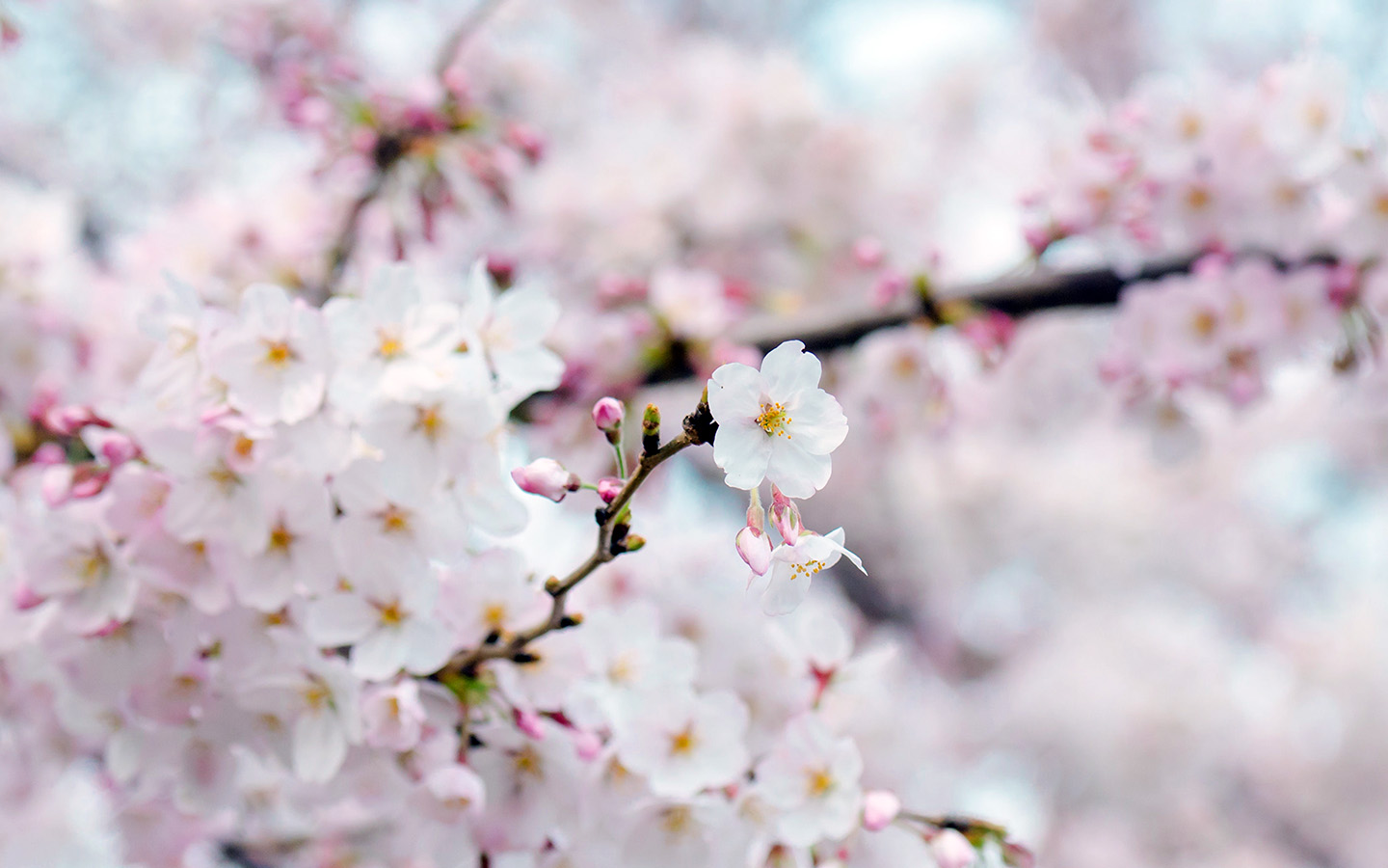 Air Anime Wallpaper Nx70 Cherry Blossom Flower Spring Tree Bokeh Nature Wallpaper