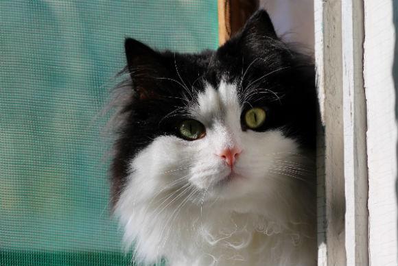cute-black-white-cat-252571.jpg