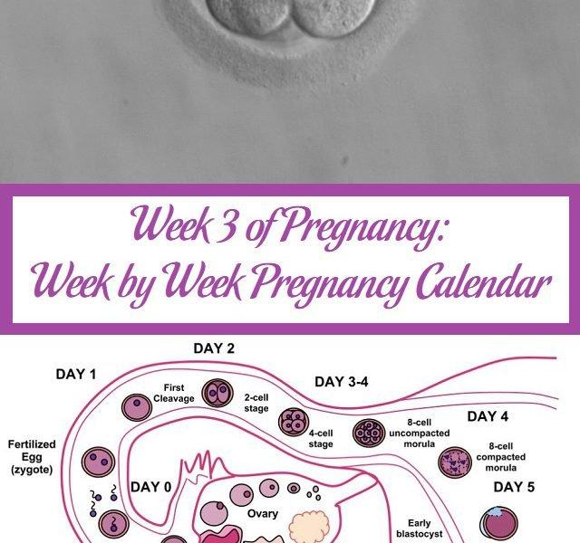 Week 3 of Pregnancy Week by Week Pregnancy Calendar Parenting Patch