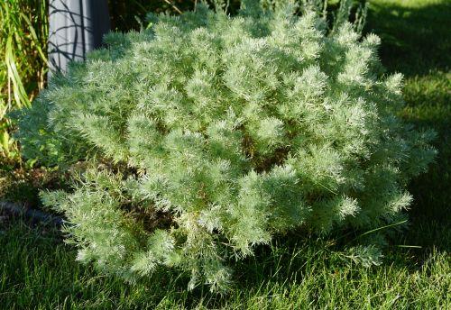 Medium Of Silver Mound Artemisia