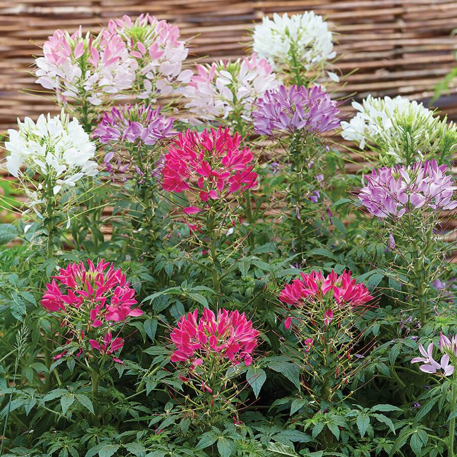 Burgon & Ball Sparkler Mix Spider Flower Seeds From Park Seed
