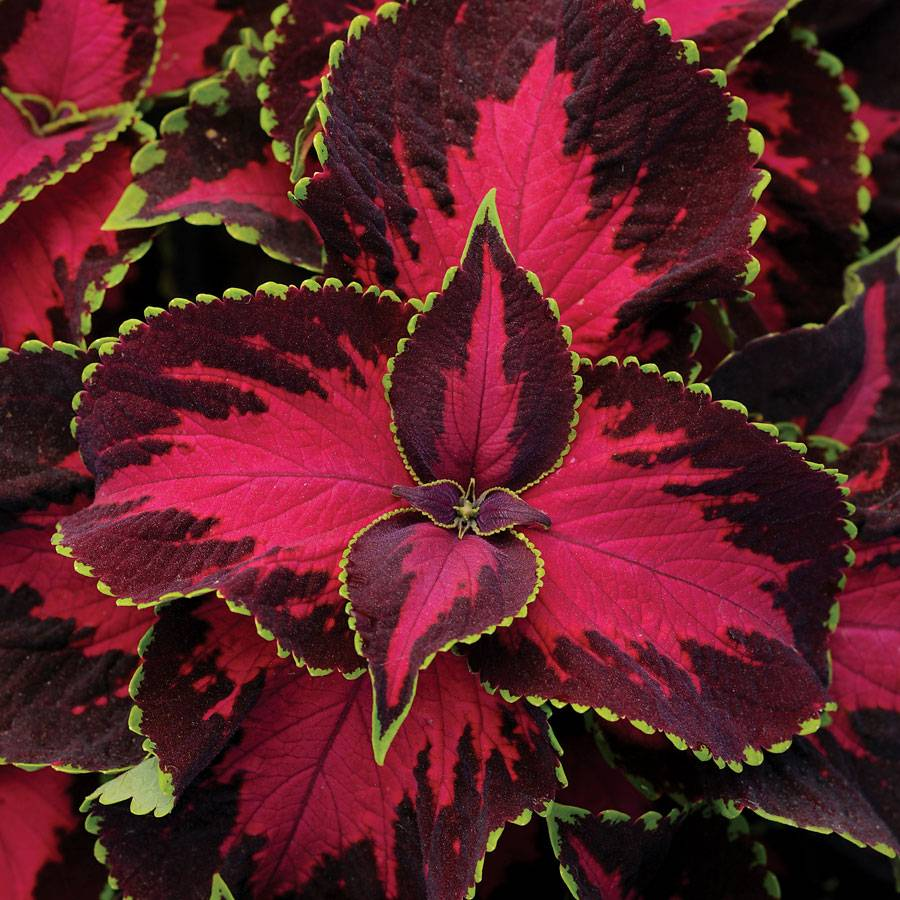 Burgon & Ball Chocolate Covered Cherry Coleus Seeds From Park Seed