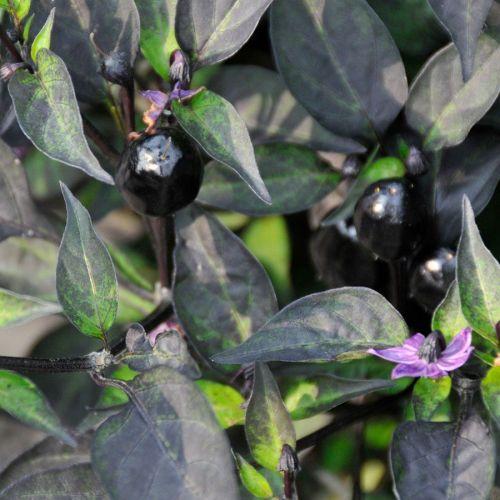 Medium Of Ornamental Pepper Plant