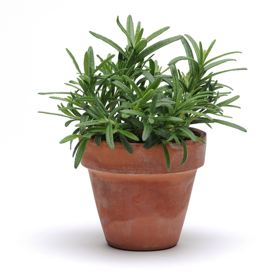 Burgon & Ball Simplyherbs™ Rosemary Seeds From Park Seed