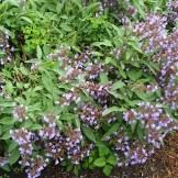 Sage in full bloom