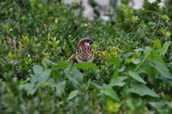 The Paris sparrows are happy!