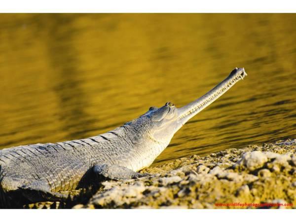 Gharial, National Chambal Sanctuary, Uttar Pradesh