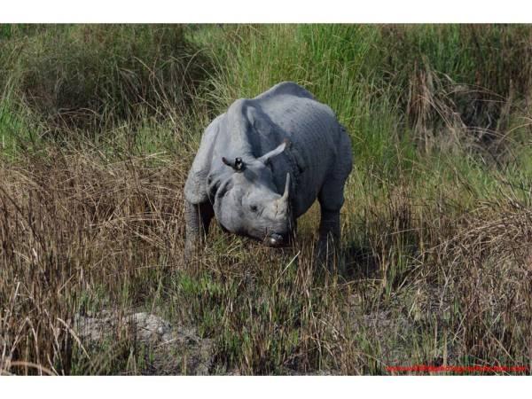 One-horned Rhinoceros, Dudhwa National Park, Uttar Pradesh