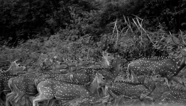 Bandipur and Kabini - The Spotted Deer stay together and run together