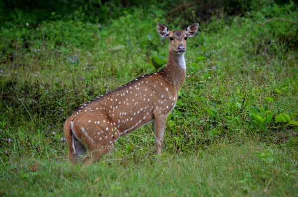 Bandipur and Kabini - This one is probably in two minds... to scoot or not to scoot