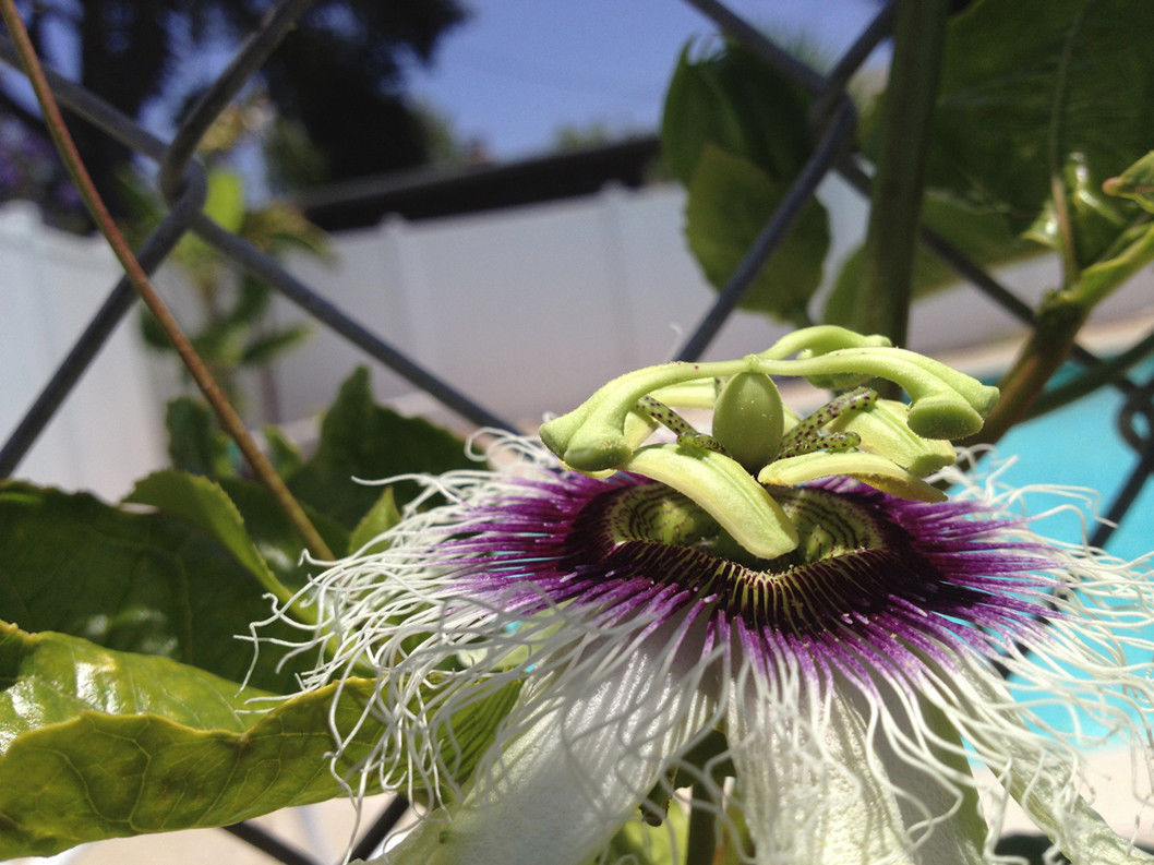 Passiflora Edulis Passion Flower Vine Frederick Edible Purple Passion Fruit
