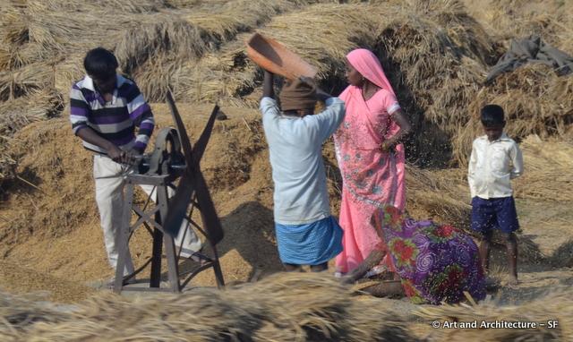 Grain Harvest in India