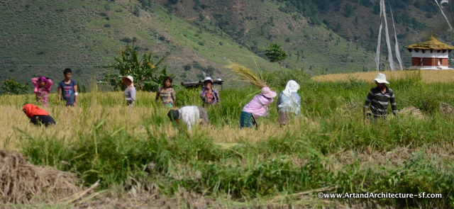 It is the beginning of rice harvest