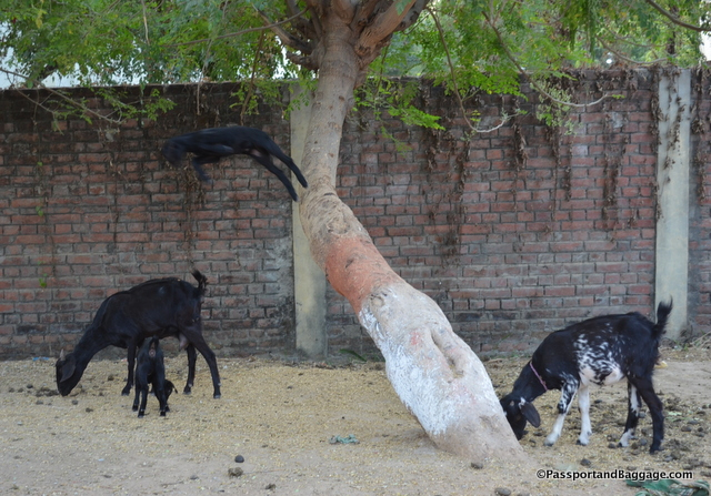 Leaping goats