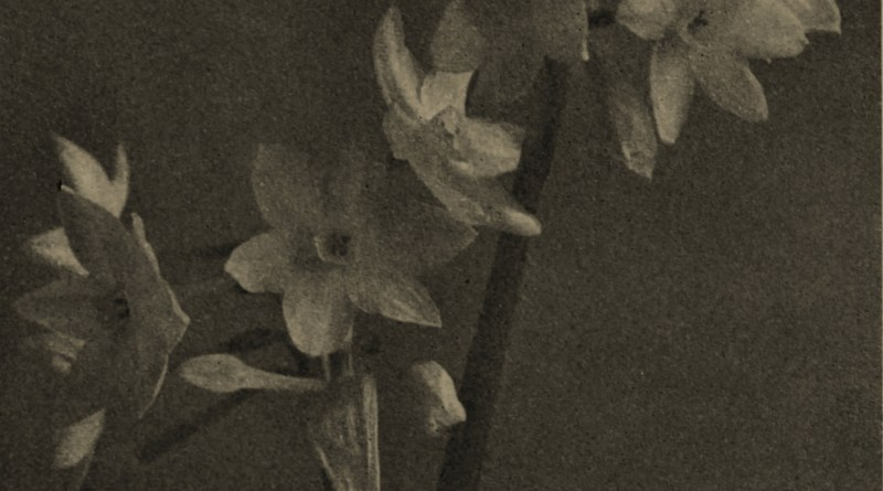 Paper White Narcissus by K. Theodor Krantz about 1908