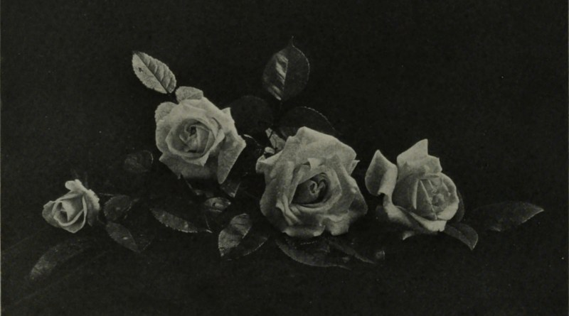 Roses by Robert Burnie about 1908