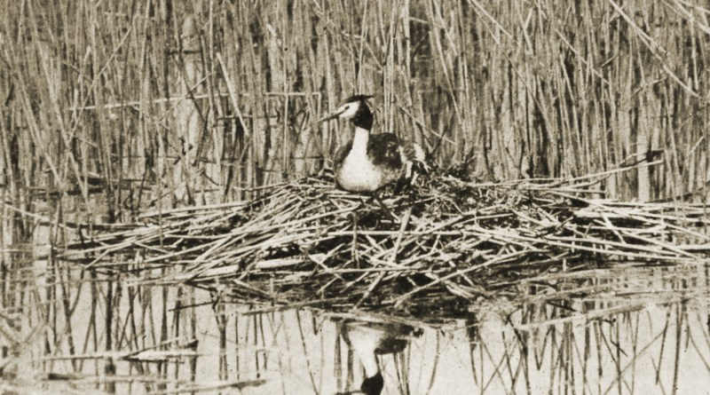 Great Crested Grebe by Oliver G. Pike about 1908