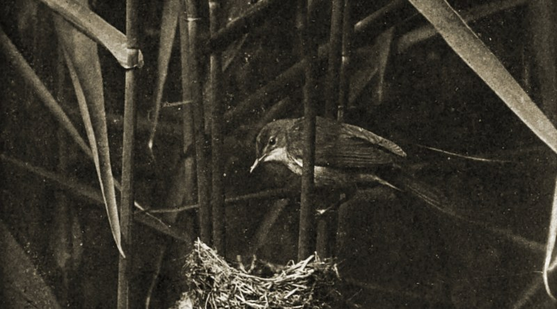 Reed Warbler visiting its Nest by William Farren about 1908