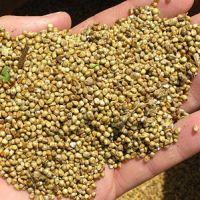 Amaranto, um grãozinho parecido com quinoa