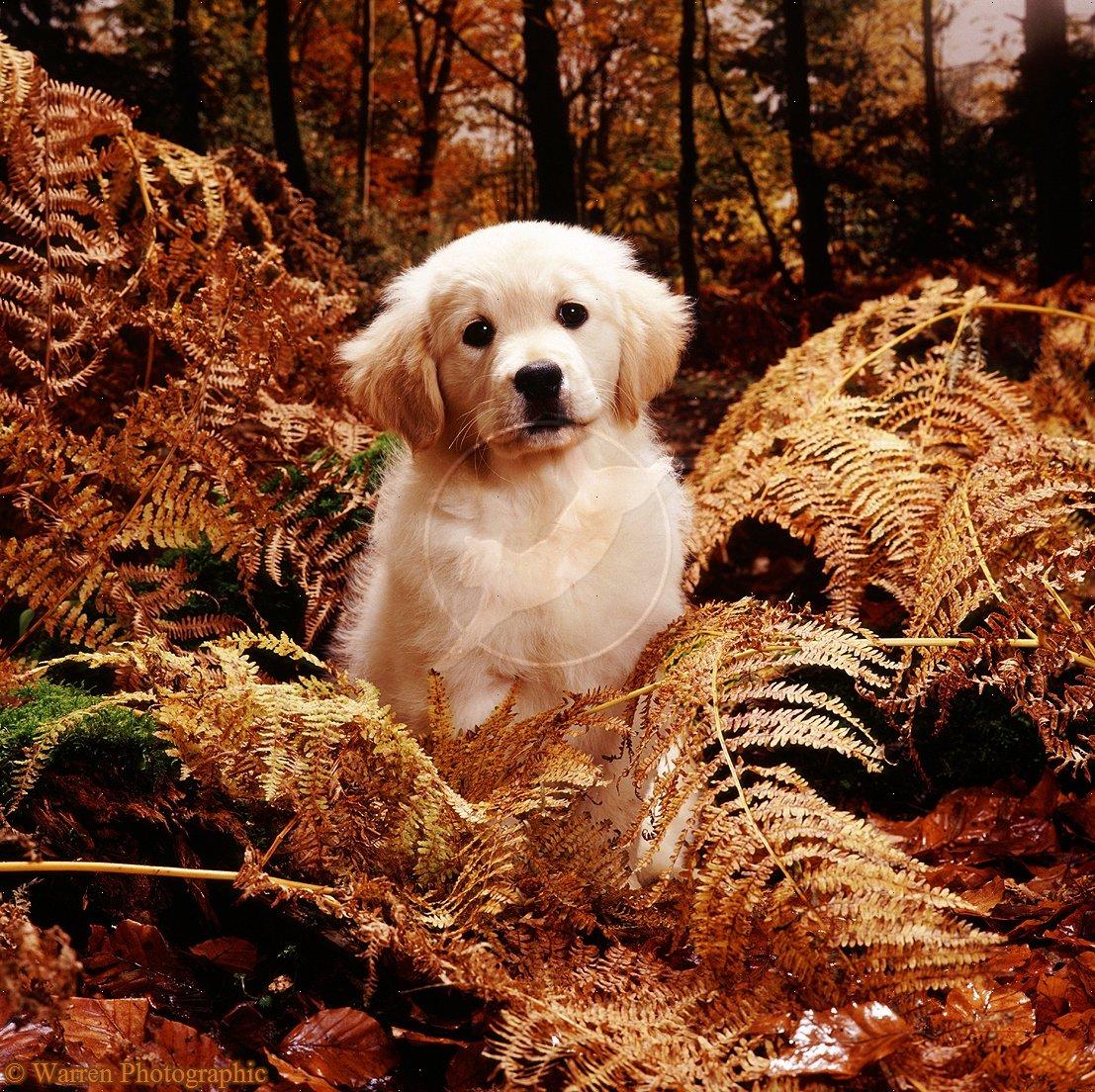 Fall Puppy Wallpaper Golden Retriever Puppy Lala In Autumn Woods Source Of