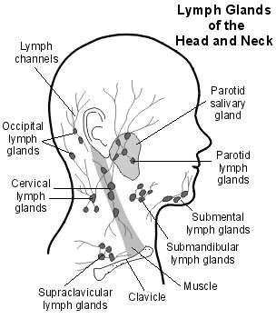 diagram glands under chin