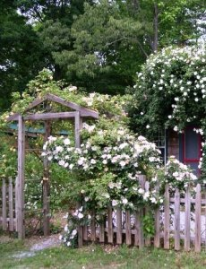 The arbor on our farm as the roses begin to grow in.  In a few years they will completely fill it up.