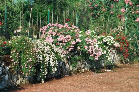 Cascade roses over rock walls.