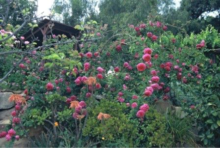 Naturall arching shrub roses cascade on a hillside.