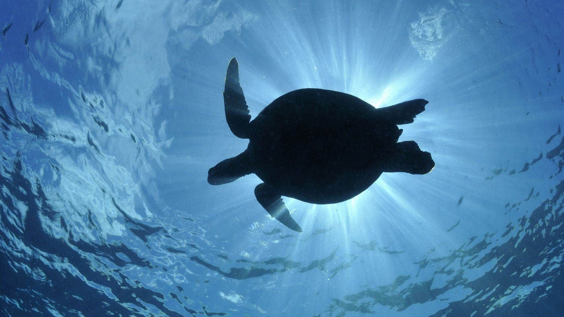 Sea Turtles Wallpaper Turtle Wallpapers 73 Background Pictures