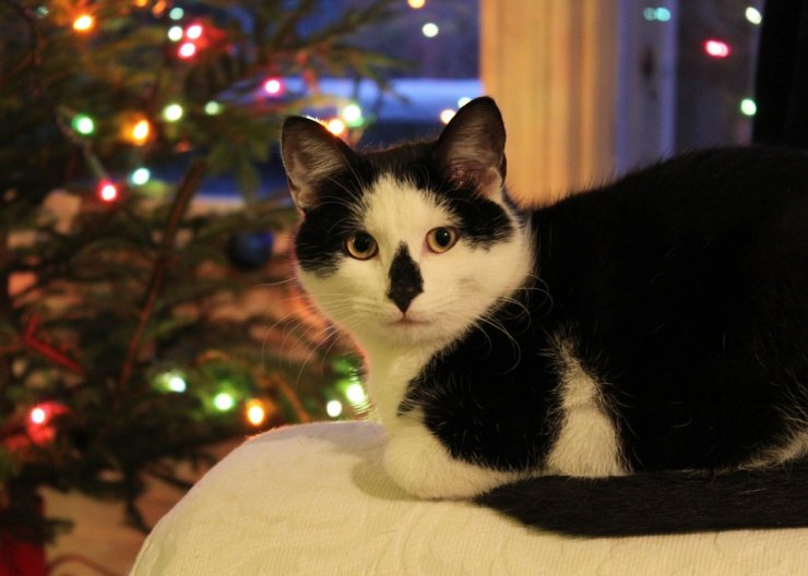 With sparkling lights, glittery dangling ornaments and shiny strips of tinsel, Christmas trees are irresistible to most cats | 10 Tips to Cat Proof Your Christmas Tree