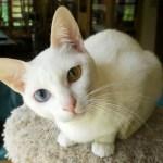 Khao Manee Cat Breed Profile