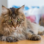 Best Cat Breeds for Families with Kids