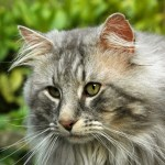 Best Cat Breeds for Homes with Dogs